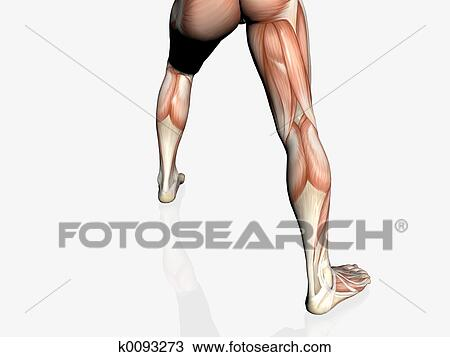 Drawing Of Anatomy Of The Man Muscular Man K0093273 Search
