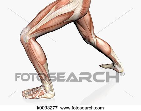 Stock Illustration Of Anatomy Of The Man Muscular Man K0093277