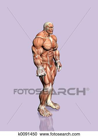 Stock Illustrations Of Anatomy Of The Man K0091450 Search Clipart