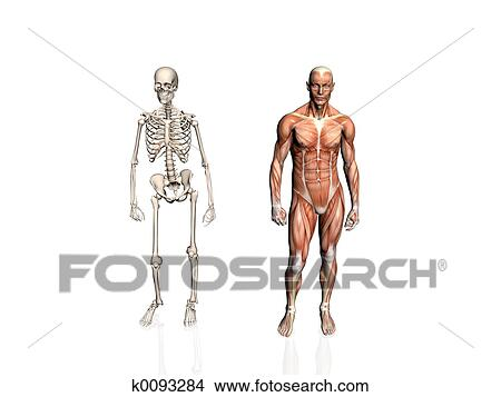 Drawings Of Anatomy Of The Man With Skeleton K0093284 Search