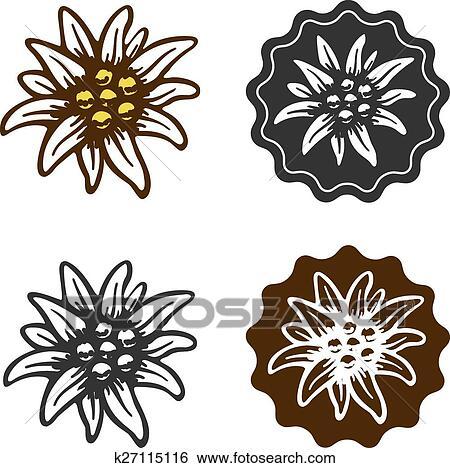 Coloriage Fleur Edelweiss.Fleur Edelweiss Dessin