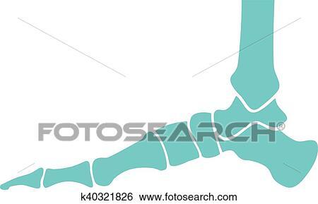 Clip Art of human foot bones (skeleton) k40321826 - Search Clipart ...