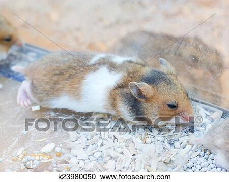 Vrije hamster x