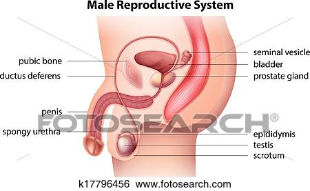 Clip Art of Male reproductive system k17796456 - Search Clipart ...