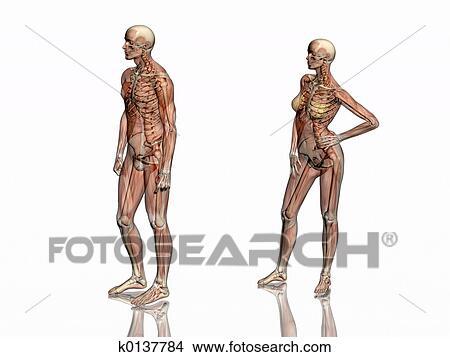 Dibujos - anatomía, transparant, músculos, con, skeleton. k0137784 ...