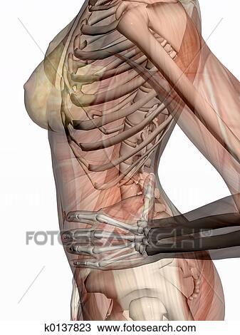 Dibujo - anatomía, transparnt, músculos, con, skeleton. k0137823 ...
