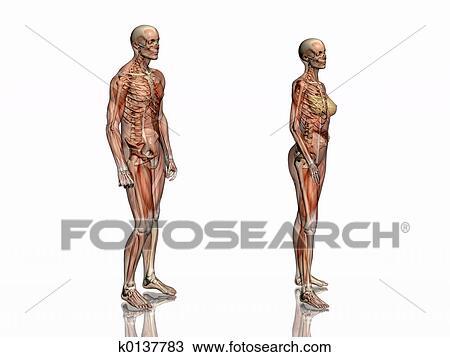 Kresba Anatomie Transparant Svaly S Skeleton K0137783