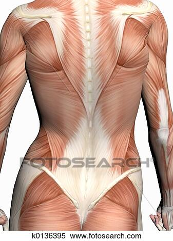 Stock Illustration of Anatomy of a woman. k0136395 - Search Clipart ...