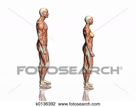 Clip Art Of Anatomy Of Man And Woman K0136392 Search Clipart