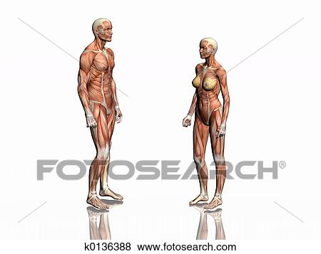 Stock Illustration Of Anatomy Of Man And Woman K0136388 Search