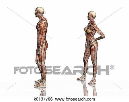 Stock Illustration Of Anatomy Transparant Muscles With Skeleton