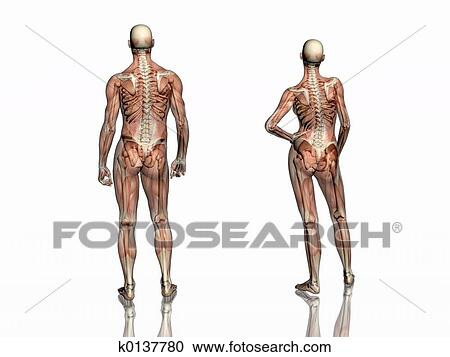 Stock Illustrations Of Anatomy Transparant Muscles With Skeleton