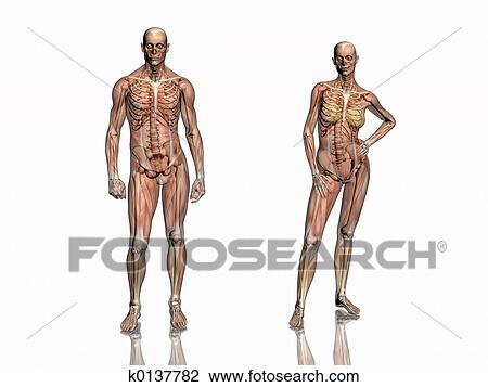 Clip Art - koerperbau, transparant, muskeln, mit, skeleton. k0137782 ...
