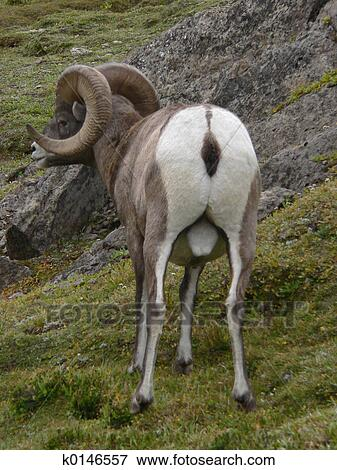 Picture of Rear View of Bighorn Sheep k0146557 - Search Stock ...