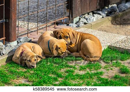 South african Boerboel puppies - the Game outside in the garden Stock  Photography