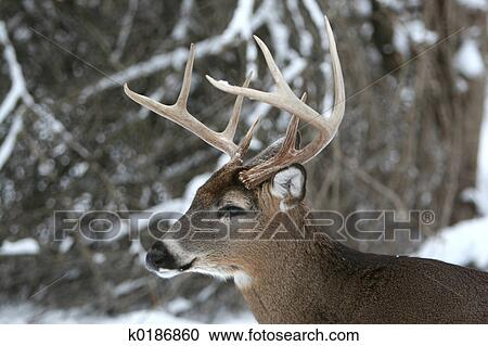 Stock Photography Of 8 Point Buck Deer K0186860 Search Stock