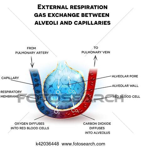 Clip Art Of Alveoli Anatomy Respiration K42036448 Search Clipart