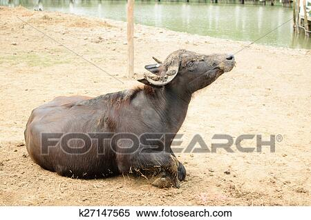 Murrah buffalo Stock Photography