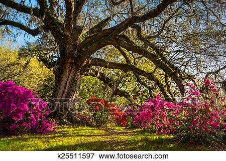Picture - Spring Flowers Bloom at Charleston South Carolina Plantation. Fotosearch - Search Stock Photography