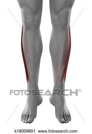Clipart Of Peroneus Longus Male Muscles Anatomy Anterior View
