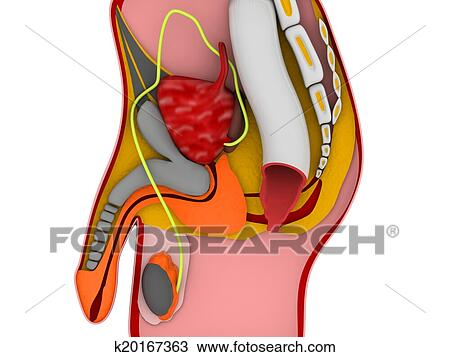 Drawing Of 3d Anatomy Of The Male Reproductive System K20167363