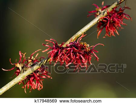 Red Witch Hazel Flowers Stock Photo K17948569 Fotosearch