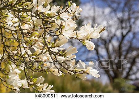 Magnolia Flowers In Full Bloom In Spring Stock Image K48090511