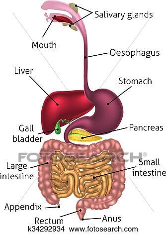 Clipart - diagrama anatómico, digestivo, tracto k34292934 - Buscar ...