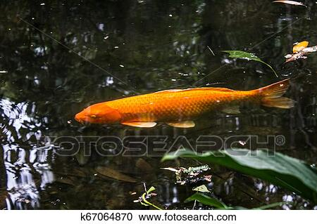 Colorful Japanese Koi Carp Fish In A Lovely Pond Of A Garden In Tijuca Forest National Park Stock Image K67064870 Fotosearch