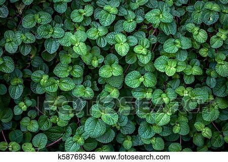 Green ivy bush wall in garden Stock Photograph