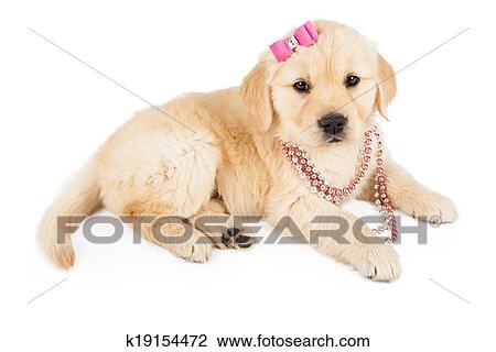 Stock Photo Of Golden Retriever Female Puppy In Pink K19154472