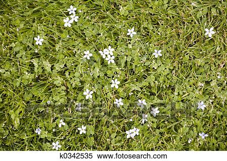 Stock image of small white star shaped flowers blooming in the photo of some small white star shaped flowers blooming in the grass mightylinksfo