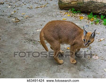 Desert Lynx Also Know As Felis Caracal Standing In The Sand A