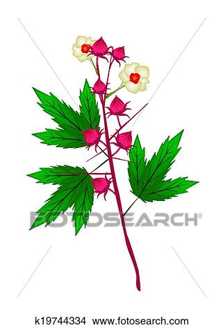 Fresh Hibiscus Sabdariffa Plant On White Background Clipart