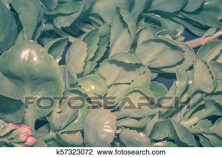 Kalanchoe Succulent on paddle plant succulent, haworthia succulent, euphorbia succulent, sempervivum succulent, rose succulent, agave succulent, senecio succulent, cotyledon succulent, sedum succulent, cactus succulent, burros tail succulent, aloe succulent, white plants succulent, mules ears succulent, orchid succulent, variegated trailing succulent, indoor plants succulent, cabbage succulent, alligator plant succulent, echeveria succulent,