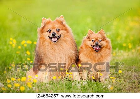 Picture Of Two Pomeranian Dog In Summer K24664257 Search Stock
