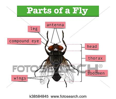 Clipart of diagram showing parts of fly k38584845 search clip art clipart diagram showing parts of fly fotosearch search clip art illustration murals ccuart Images