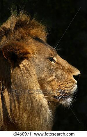 Lion Dans Profil Banque D Image