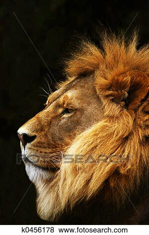 Lion Dans Profile Banque De Photo