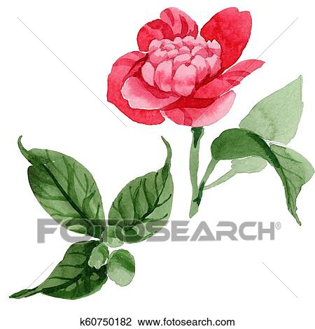 b35a458d1 Drawing - Watercolor pink camellia climbing flower. Floral botanical flower.  Isolated illustration element.