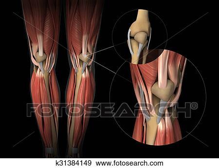 Colección de fotografía - rodilla, músculo, tendón, y, cartílago ...