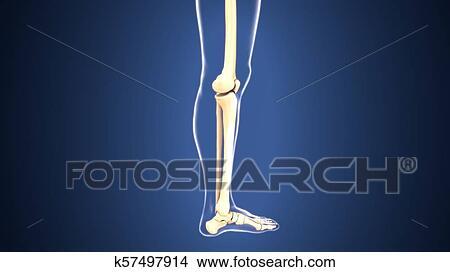 3D Illustration of Human Body Bone Joint Pains Anatomy (Leg Joints and  Bones) Stock Illustration