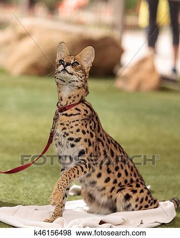 Wspaniały Kot Savannah Kot Serwal QE24