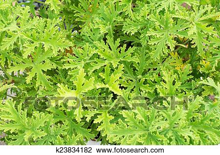 Scented Geraniums Bush Close Up Mosquitoes Repellent Stock Image