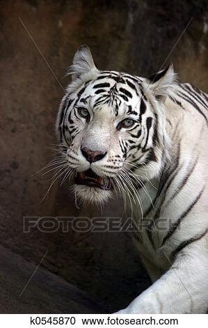 Tigre bianca archivio immagini k0545870 fotosearch