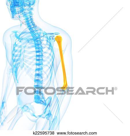 Stock Illustration - dass, oberarmknochen k22595738 - Suche Clip Art ...