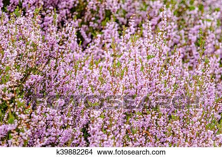Stock Photo Of Detail Of A Flowering Heather Plant In Dutch