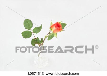 Stock Photo Of Single Rosebud In A Vase K0571513 Search Stock