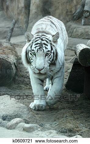 Tigre bianca archivio immagini k0609721 fotosearch