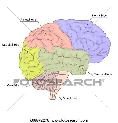 Human Brain Organ Parts Anatomy Diagram Colorful Design Side View Vector Clip Art